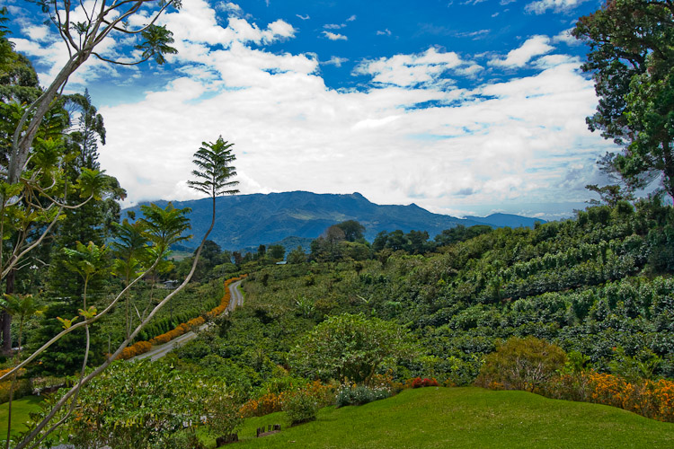 Expanse of a coffee plantation.